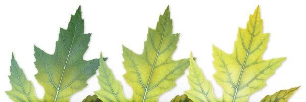 מחסור ברזל בצמחים