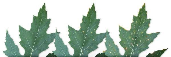 מחסור מגנזיום בצמחים